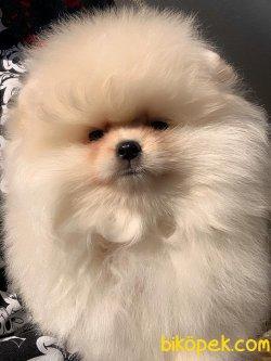 Bebek Pomeranian Boo Ayı Surat Basık Burunlu