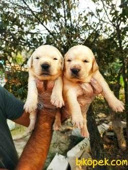Bebek Yüzlü Irk Garantili Golden Retriever Yavrular
