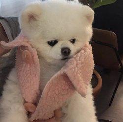 Bembeyaz A Kalite Pomeranian 3
