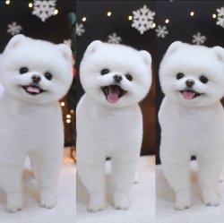 Bembeyaz A Kalite Pomeranian