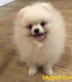 Bembeyaz Ayı Surat Teddy Bear Pomeranian