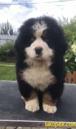 Bernese Mountain Dog En Keyifli Irklardan Biri
