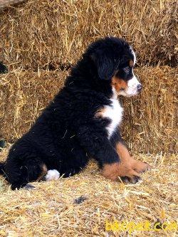 BERNESE MOUNTAIN DOG YAVRULARI 5