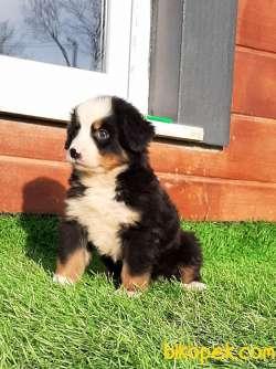 BERNESE MOUNTAIN DOG YAVRULARI