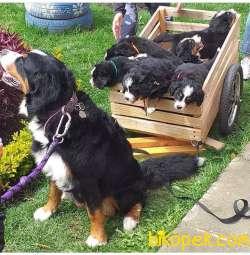 Bernese Mountain Dog Yavruları 2