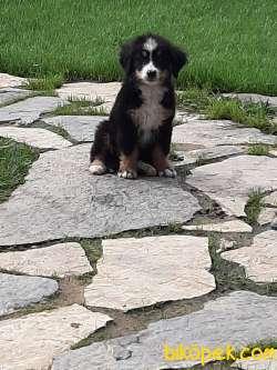 Bernese Mountain Dog Yavruları 3