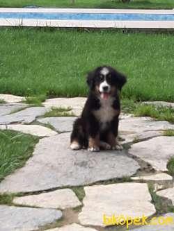 Bernese Mountain Dog Yavruları 4