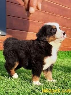 BERNESE MOUNTAIN DOG YAVRULARI 3