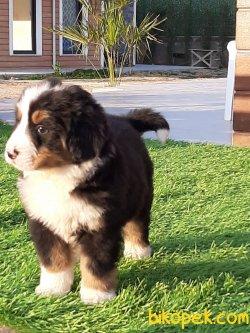 BERNESE MOUNTAIN DOG YAVRULARIMIZ 4