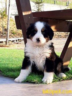 BERNESE MOUNTAIN DOG YAVRULARIMIZ 2