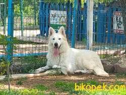 Beyaz Alman Çoban Köpeği