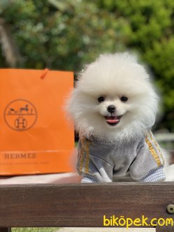 Beyaz Özel Üretim Teddy Bear Pomeranian Boo