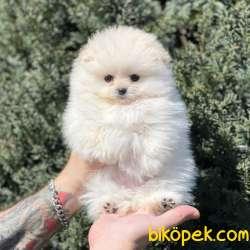 Beyaz Pomeranian Boo Dişi Yavrumuz
