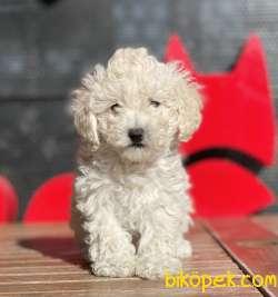Beyaz Renk Toy Poodle Yavruları Scr Li 2