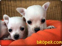 Beyaz Şivava Yavruları Bursa