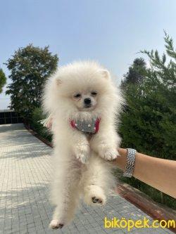 Beyaz T-cup Secereli Tattolu Irk Garantili  Teddy Bear Pomeranian
