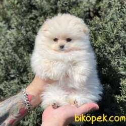 Birbirinden Güzel Dişi Erkek Pomeranian Bi Yavrular 3