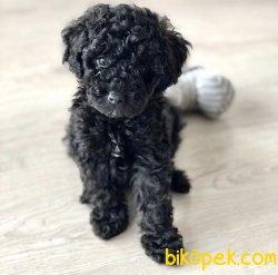 Black Poodle Yavrularimiz İrkinin En İyisi 2