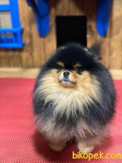 Black Tan En Nadir Renk Boo Pomeranian