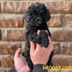 Black Toy Poodle Erkek Yavrularımız 4