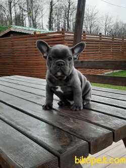Blue French Bulldog Yavruları Istanbul