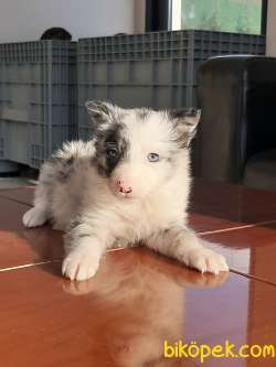 Blue Marley Border Collie Istanbul