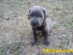 Blue Ve Black Dev Italiano Cane Corso Puppy