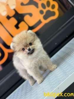 Boo Pomeranian 3