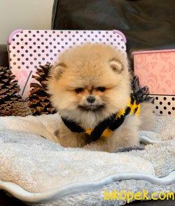 Boo Pomeranian Ayı Surat Yavrular