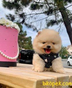 Teddy Face Yavrular Pomeranian
