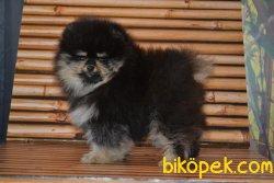 Boo Pomeranian Black And Tan