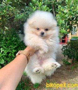 Boo Pomeranian Irk Garantili Yavrular