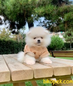 Boo Pomeranian Yavrular 2