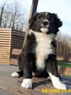 Border Collie Yavrular