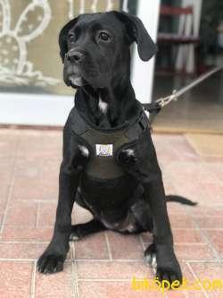 Cane Corso Saf Irk Gelişmiş Köpek 1
