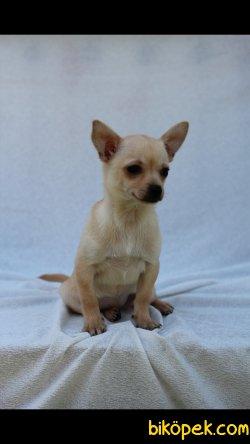 Chihuahua 'Akkuş Üretim Çiftliği' 4