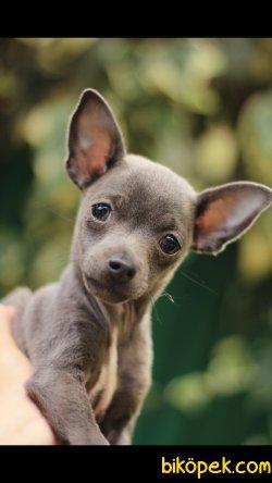 Chihuahua 'Akkuş Üretim Çiftliği' 5