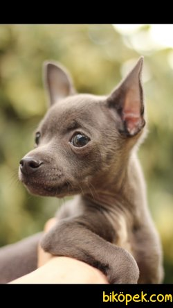 Chihuahua 'Akkuş Üretim Çiftliği'