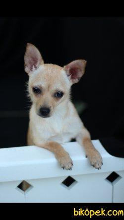 Chihuahua 'Akkuş Üretim Çiftliği' 1
