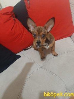 Chihuahua ( Şivava ) Erkek — GOFRET