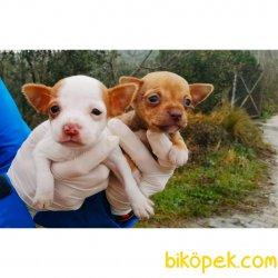 Chihuahua Yavrularımız