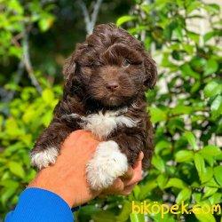 Chocolate Toy Poodle Yavrularımız Gelmiştir