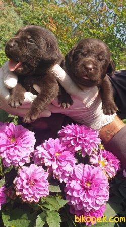 Çikolata Labrador Yavruları Evinizin Neşesi