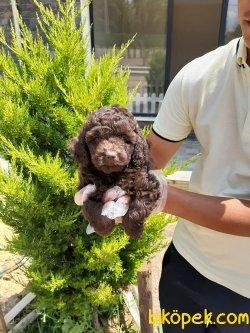 Çikolata Toy Poodle Yavruları Istanbul
