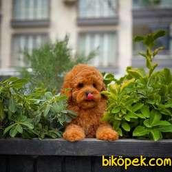 Cocuklarla Anlasabılen En Iyı Irk Toy Poodle Yavrusu 4