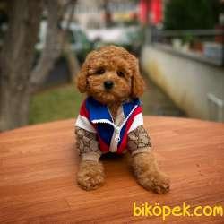 Cocuklarla Anlasabılen En Iyı Irk Toy Poodle Yavrusu 1