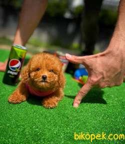 Cocuklarla Anlasabılen En Iyı Irk Toy Poodle Yavrusu