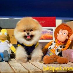 Cocuklarla En Iyi Anlasabılen Irk Pomeranian Yavruları