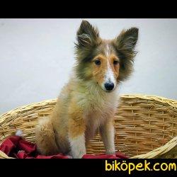 Çok Özel Rough Collie (lesi) Lassie Yavrularımız