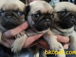 Cok Sevimli Pug Yavrularımız 1